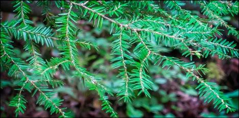 Trees-of-the-Adirondacks-Eastern-Hemlock-28-July-2012-5