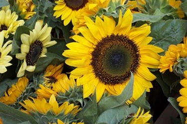picture_sunflower-1
