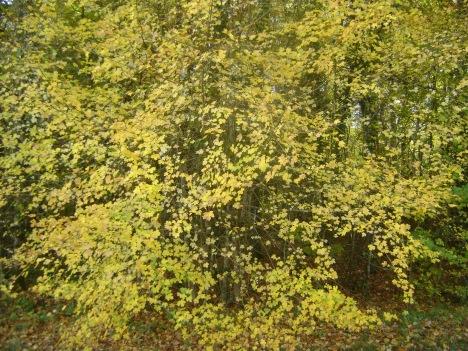 AutumnLeavesYellow.jpg